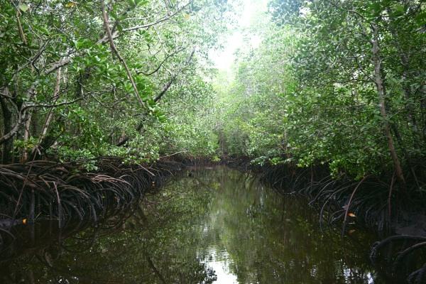 Mangrovníky Zanzibar