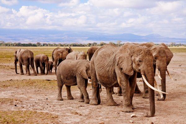 Keňa a slony v národnom parku